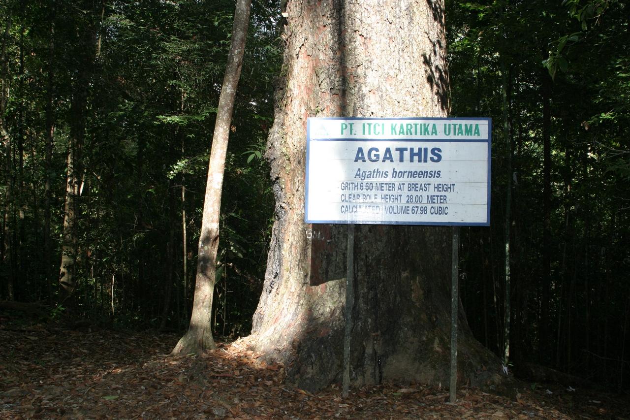 Tropenholz Agathis