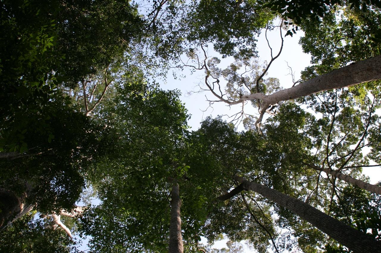 Urwaldriesen auf Borneo