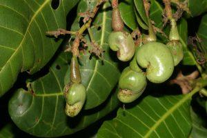 Cashew-Nüsse