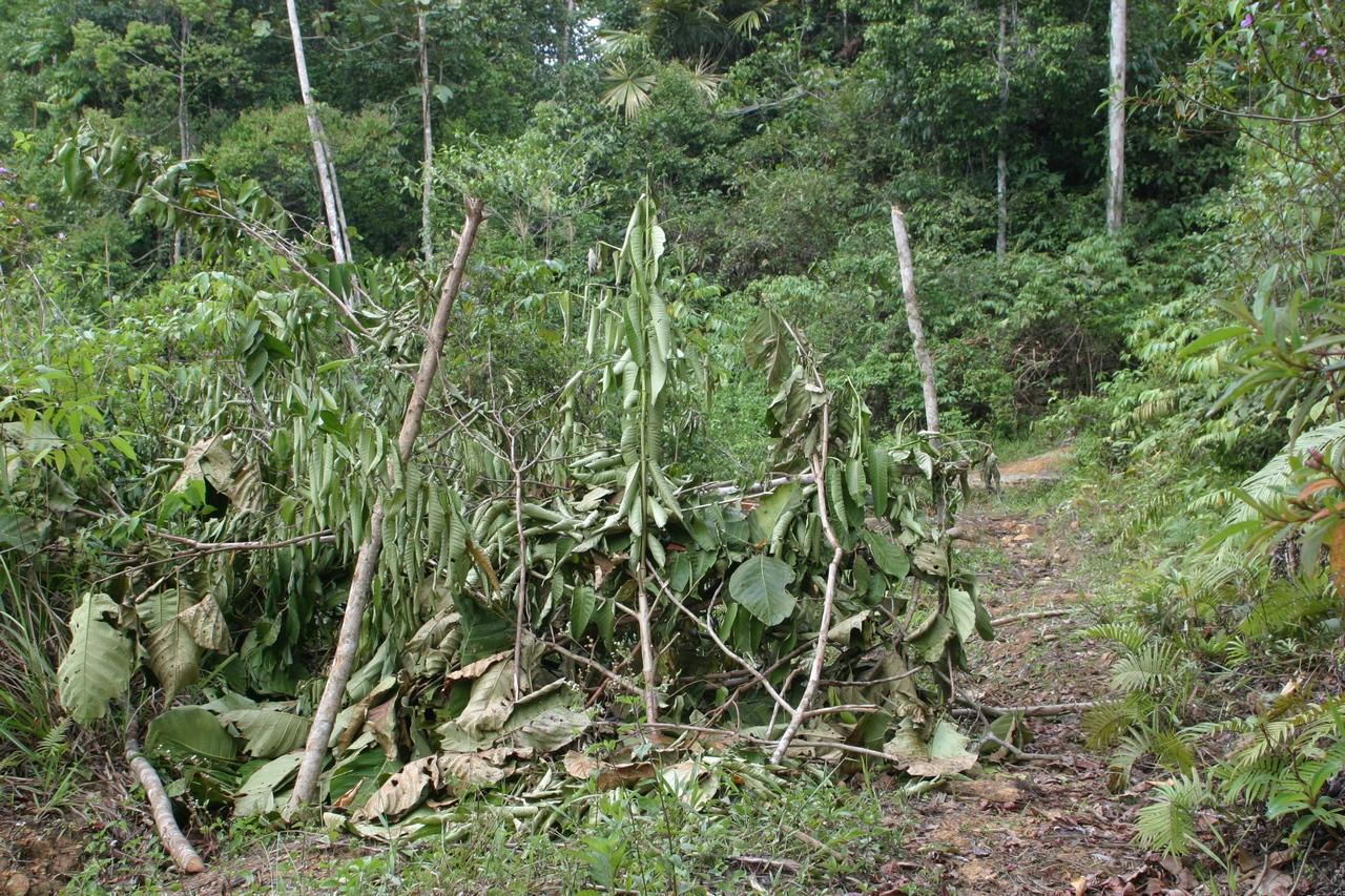 Verstecktes Tropenholz
