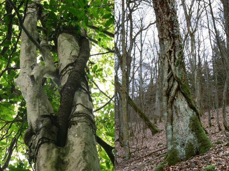 Kletterpflanzen im Regenwald und in gemaessigten Breiten