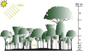 Grafik: Stockwerkbau tropischer Regenwälder