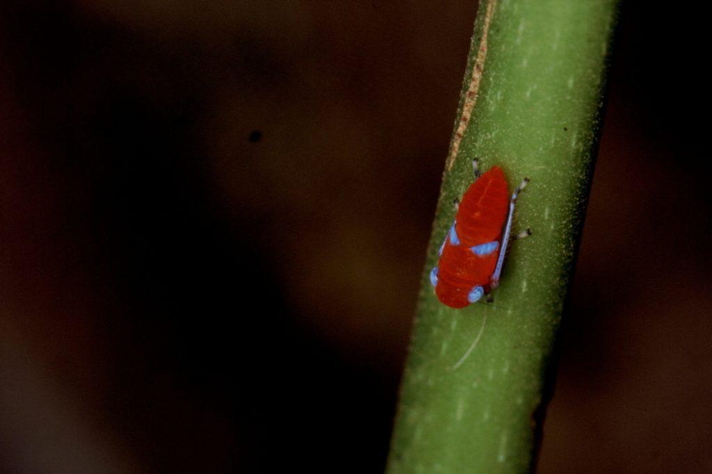 Rote Zikade