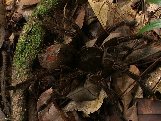 Riesenvogelspinne Theraphosa blondi