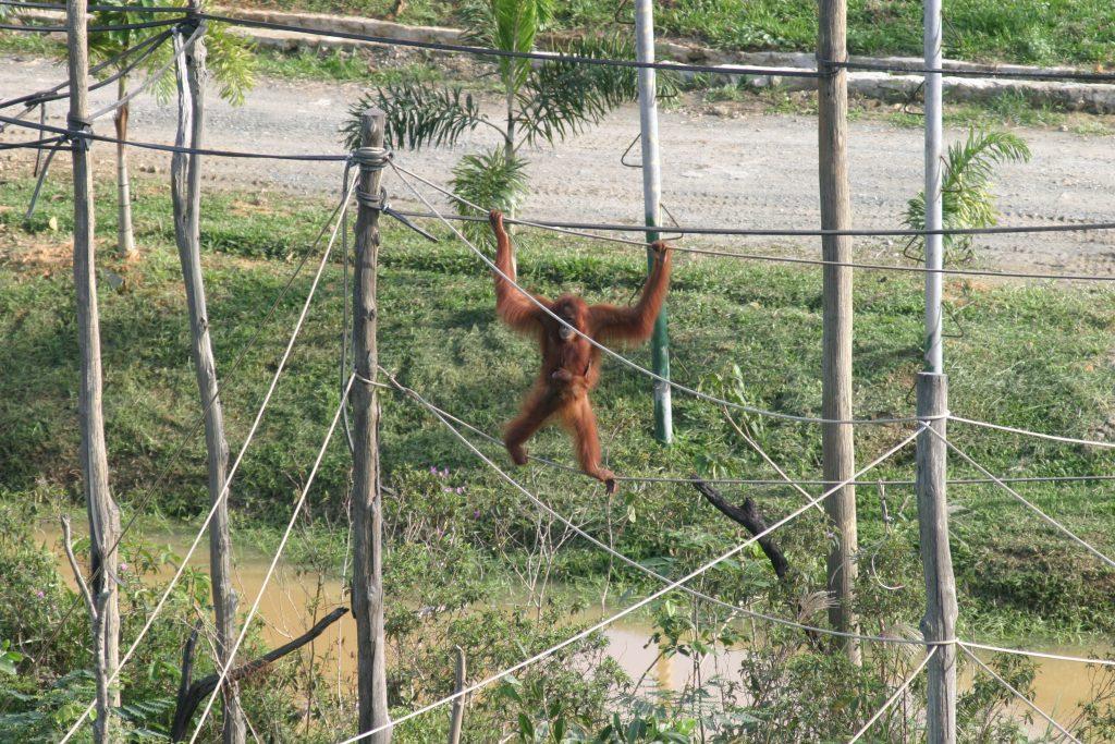 Isoliert gehaltene Orang-Utans in einer Auswilderungsstation auf Borneo