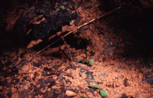 Blattschneiderameisen Nest