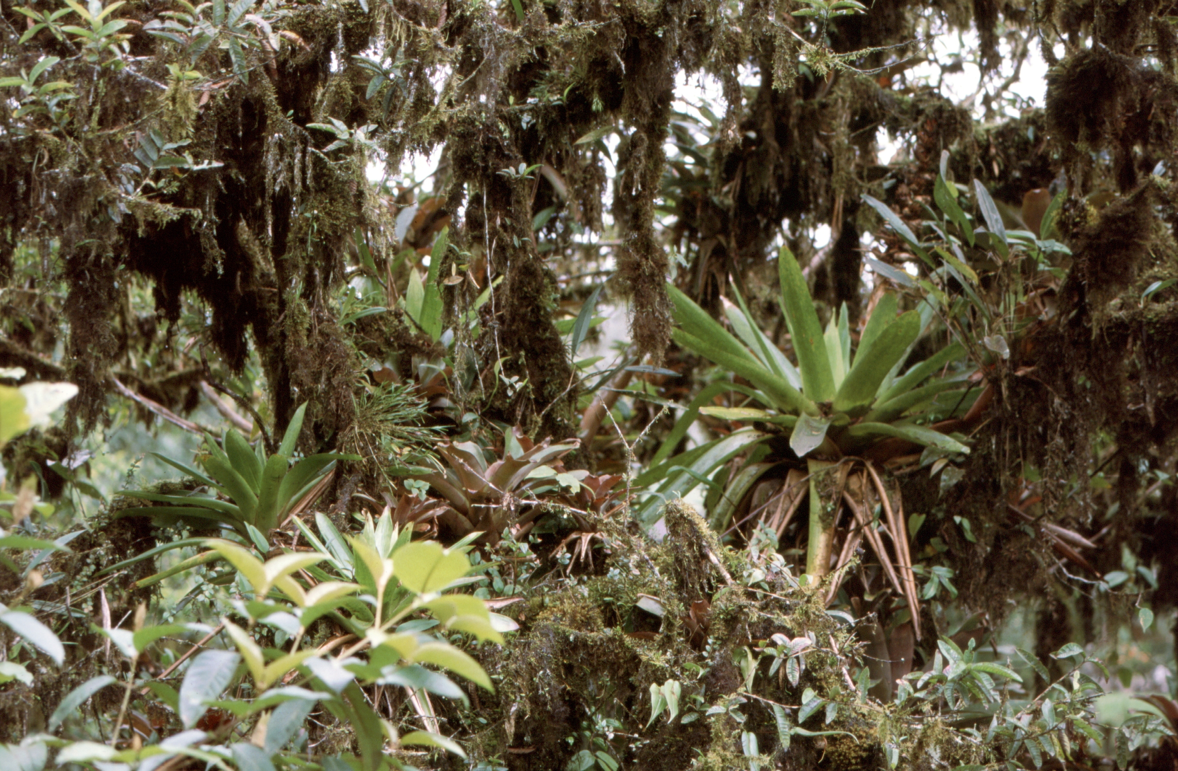 Üppiger Bewuchs mit Aufsitzerpflanzen in einem ecuadorianischen Bergregenwald