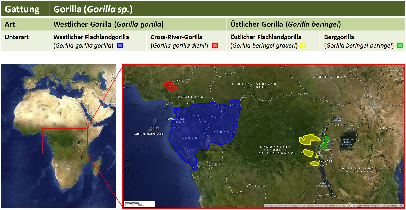 Gorilla: Arten, Unterarten und Verbreitung
