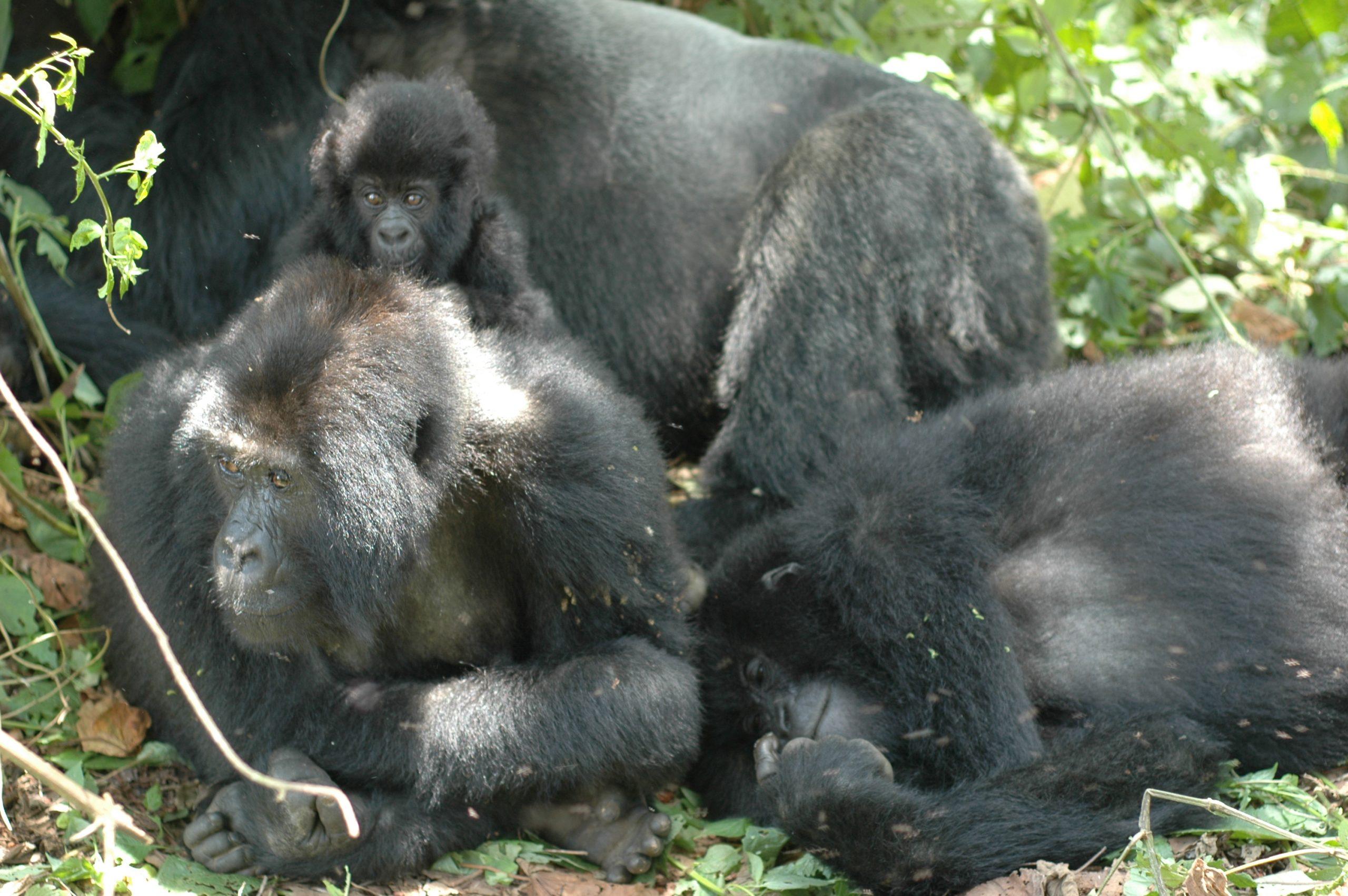Gorillagruppe bei der Mittagspause