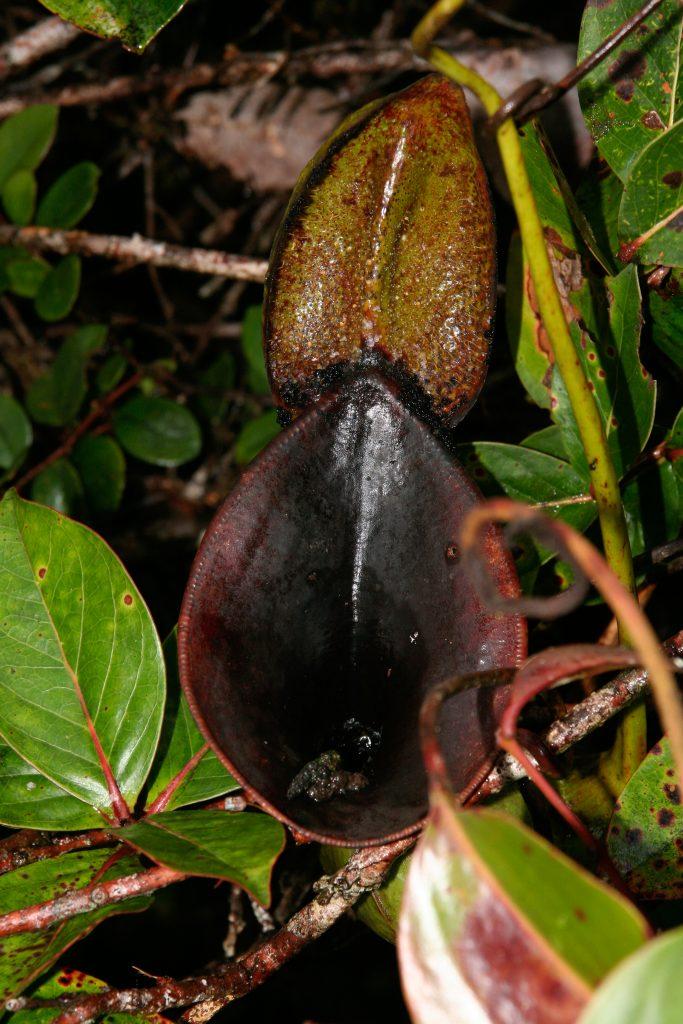 Die Kanne von Nepenthes lowii (Bild von U. Bauer)