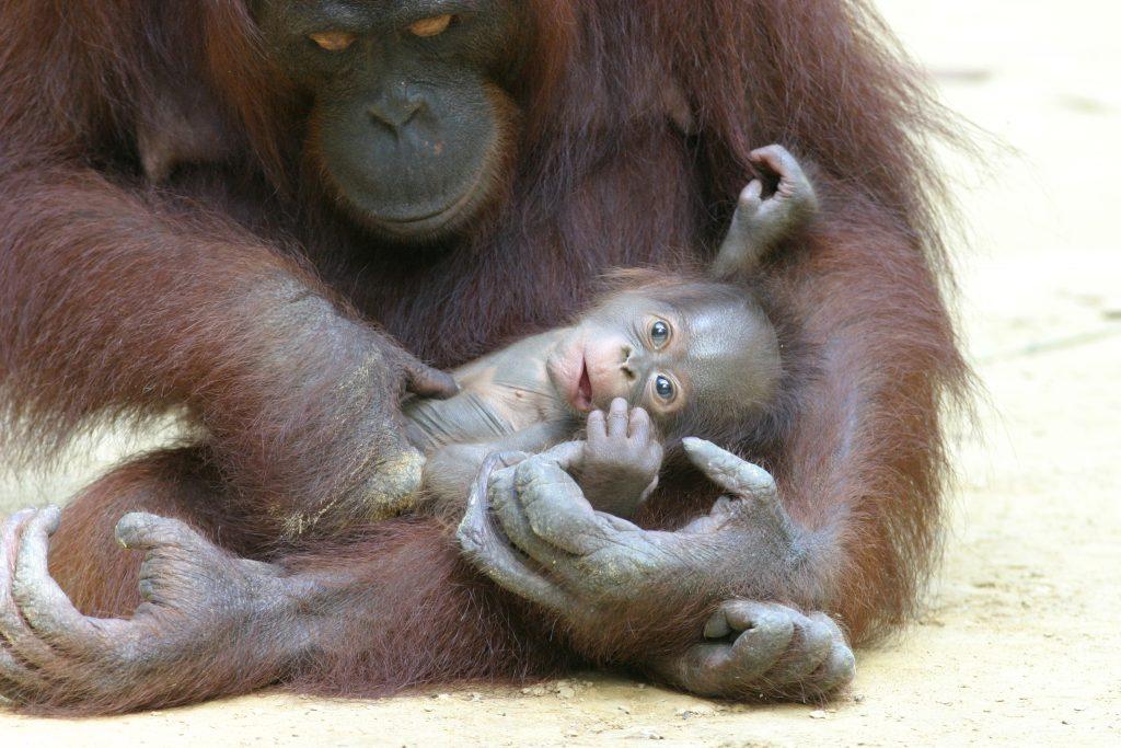 Orang-Utan-Baby Momo