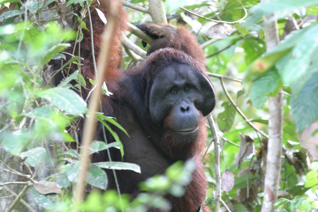 Orang-Utan-Männchen mit Backenwülsten