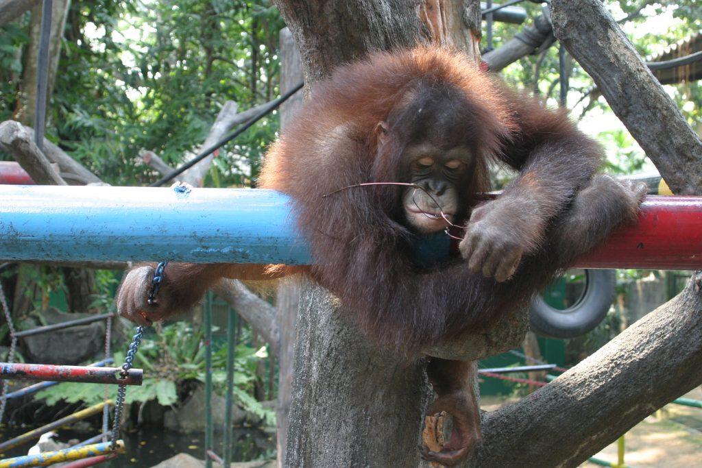 Orang-Utan spielt mit Brille