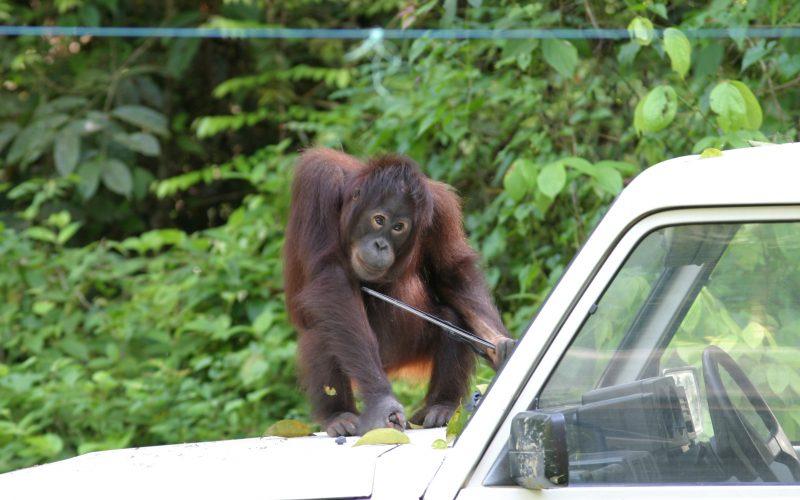 Orang-Utan spielt mit Scheibenwischer