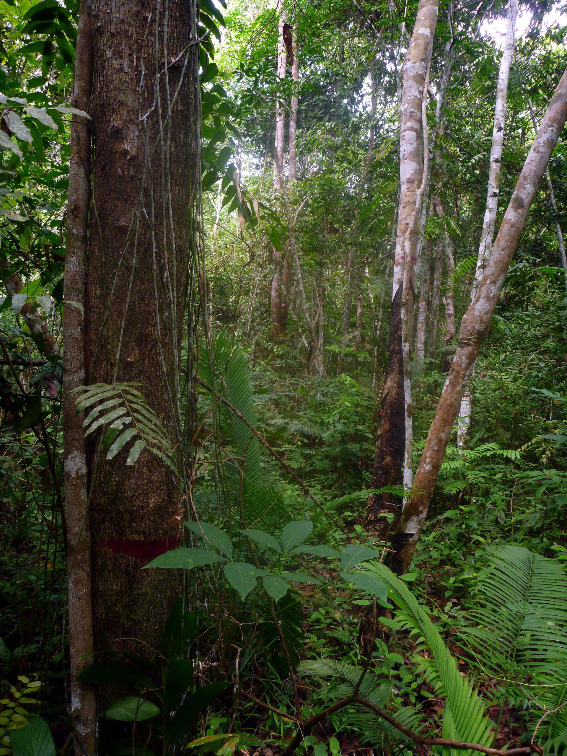 Kautschukplantage gemischt mit Wald (Agroforst)