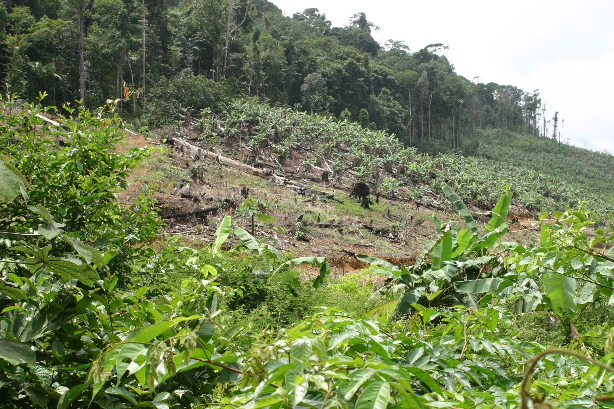 Regenwaldzerstörung für Bananen in Französisch-Guayana